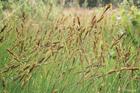 Mēreni mitras pļavas - Hartmaņa grīslis