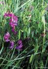 Purva dedestiņa - Lathyrus palustris