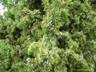 Kadiķis (Juniperus communis)